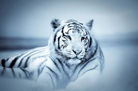 wall glass tiger white tiger buy at europosters eu