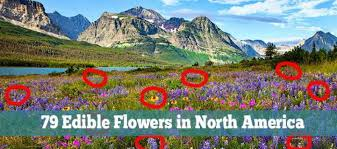 flowers edible 79 edible flowers in america with pictures ask a prepper