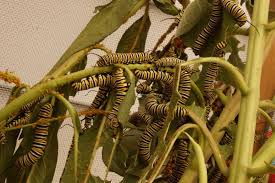 What Can Cause Temporary Blindness Milkweed May Cause Temporary Blindness Butterfly Gardening