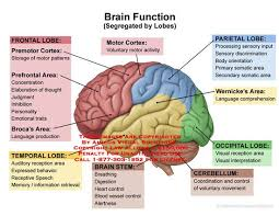 Images Of Human Anatomy And Physiology Best 25 The Human Brain Ideas Only On Pinterest Human Brain