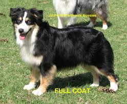 australian shepherd double coat faithwalk aussies grooming your aussie