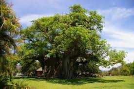 this 6000 year tree has a bar inside freakin facts