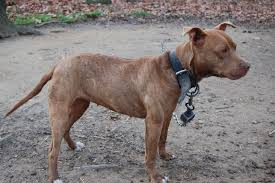 american pit bull terrier brindle red brindle pit bull pictures good pit bulls