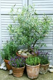 Potted Garden Ideas This Is Why You Need Olive Trees In Your Home And Garden Gardens