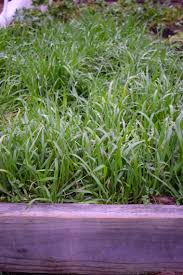 cover crops u2013 seed and sprout