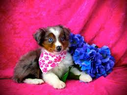 australian shepherd dog puppies miniature australian shepherd puppy 2 u2014 all about puppies