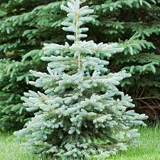 blue spruce trees blue spruce tree for sale fast growing trees