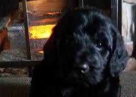 goldendoodle puppy virginia labradoodle goldendoodle puppy for sale va md dc doodle pups