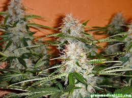 growing autoflower with led lights photos northern light autoflower growing medical marijuana