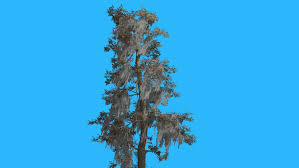 blue spruce picea pungens tree is swaying at the wind tree on