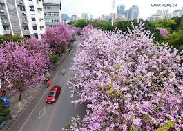 hong kong orchid trees enter into blossom season in s china