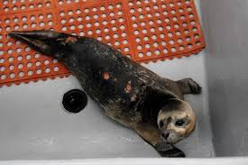 Great White Shark Attack Cape Cod - seal at brigantine center bitten by great white shark experts