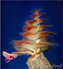a christmas tree worm little things pinterest underwater
