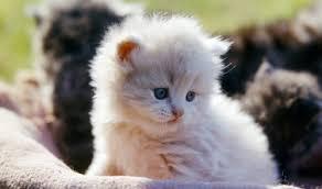 gatti persiani bianchi gatto persiano carattere educazione e aspetto tuttogreen