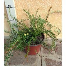 mirtillo in vaso mirtillo americano vendita piante solopiante it