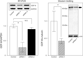 Small H by Gene Silencing Of Myostatin In Differentiation Of Chicken