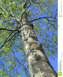 plain tree putting on new growth stock photo image 9154072