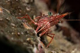 reef tank janitors part 2 shrimps true crabs and sea urchins