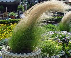 black gold cool grasses for container garden simplicity black gold