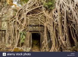 ta prohm angkor wat temple ruins overgrown by trees stock photo