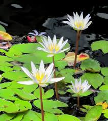 Aquarium Tropical Plants White Tropical Water Lily U2013 Water Garden Live Pond Plant