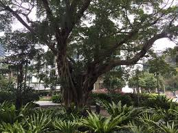 banyan tree most expensive preserved tree in the world picture
