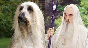 afghan hound look alike breeds 23 real animals that look like fictional characters