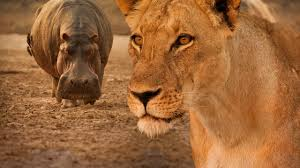 turf war lions and hippos national geographic channel asia