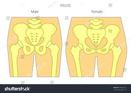 Male And Female Anatomy Differences Vector Illustration Human Pelvis Difference Anatomy Stock Vector