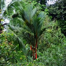 lipstick palm information u2013 how to grow lipstick palms in the garden