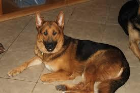 belgian sheepdog rescue trust facebook az shepherd rescue in peoria az