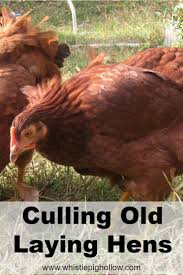 the 25 best laying hens ideas on pinterest backyard chickens
