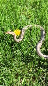 Yellow Flag With Snake Snakes Of Ohio Identifying All 25 Species Slideshow Cleveland Com