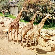 Tisch Family Zoological Gardens Jerusalem Biblical Zoo Fun Without Cruelty Merry Go Round Slowly