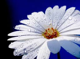 flower images free flower with raindrops stock photo freeimages com