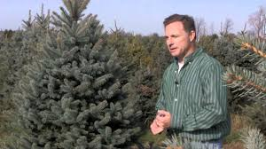 christmas tree species colorado blue spruce youtube