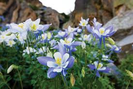 columbine flowers co columbine mtcraigbasin tif chris photography