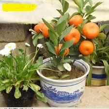 10 seeds balcony patio potted fruit trees planted seeds kumquat