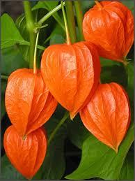 lantern flower lantern orange orange flowers gardens