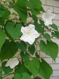moon flowers moonflowers another pass along plant forest garden