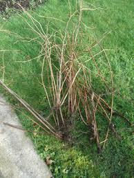 transplanting the raspberry canes that bloomin u0027 garden