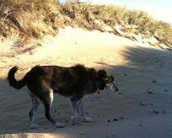cape cod beach wind old dog u003d flapping ears u2014 sian robertson art