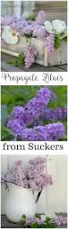 purple flowering australian native plants 25 best purple flowering bush ideas on pinterest purple ground