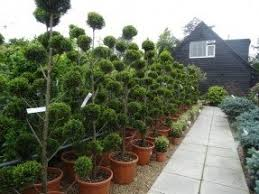 topiary trees for sale foter