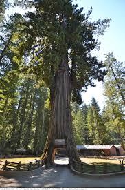 Tree Chandelier Chandelier Tree Famous Redwoods