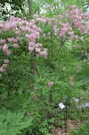 native plants of pa 108 best deciduous shrubs images on pinterest shrubs native