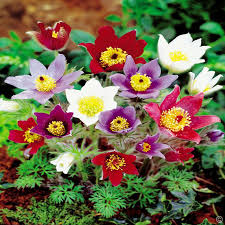 anemone plant buy your japanese anemone perennial hybrid plants online