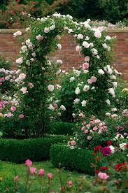 planting more david austin roses the martha stewart blog