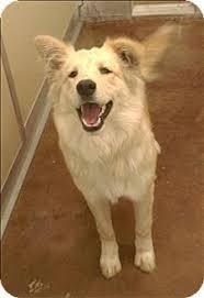american eskimo dog new mexico denver co australian shepherd meet levi a dog for adoption