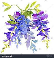 watercolor lilac blue flowers wisteria hand stock illustration